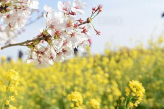 桜と菜の花の写真・画像素材[3694634]