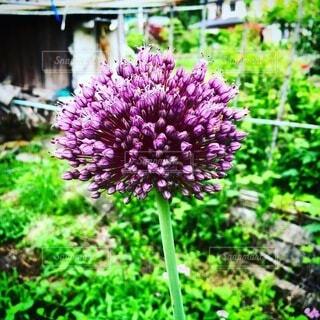 ニンニクの花の写真・画像素材[3701428]
