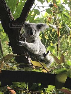 木から葉を食べるコアラの写真・画像素材[3678185]