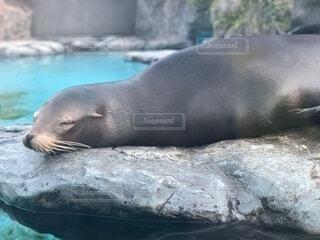 水の中を泳ぐアザラシの写真・画像素材[3676794]