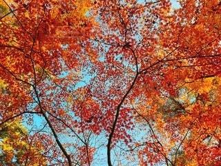 真っ赤な紅葉の写真・画像素材[3725242]