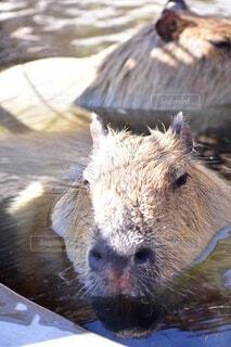 カピバラ温泉の写真・画像素材[3679972]