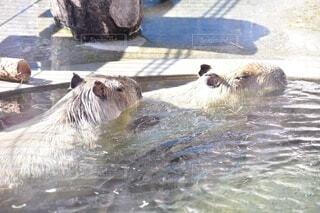 カピバラ温泉の写真・画像素材[3679973]