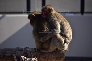 暖め合う猿の写真・画像素材[3681219]