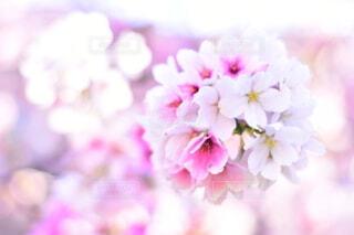桜の写真・画像素材[3683001]