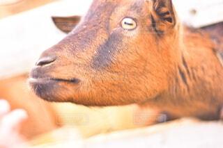 ヤギの写真・画像素材[3690206]