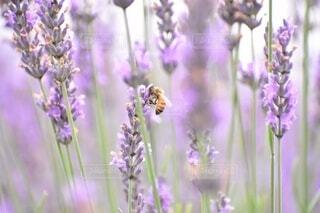 ラベンダーと蜜蜂の写真・画像素材[3690216]