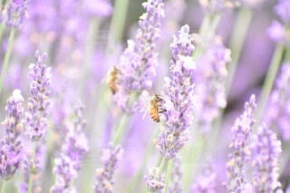 ラベンダーと蜜蜂の写真・画像素材[3690217]