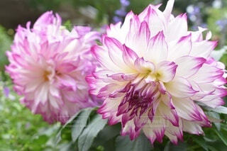 花のクローズアップの写真・画像素材[3691388]