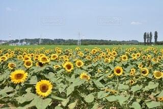 ひまわり畑の写真・画像素材[3691412]