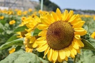 ひまわり畑の写真・画像素材[3691460]