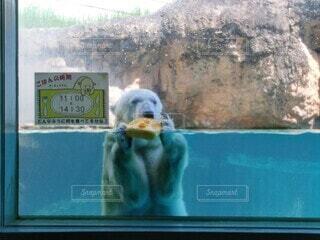 窓の前にあるホッキョクグマの写真・画像素材[3678483]