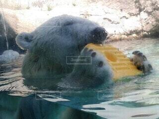 ホッキョクグマが水の中を泳いでいるの写真・画像素材[3678484]