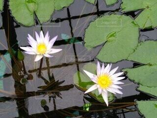 池の植物の写真・画像素材[3681531]