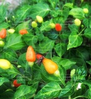食べ物,オレンジ,野菜,食品,家庭菜園,メキシコ,食材,チリ,フレッシュ,ベジタブル