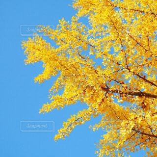 青空×銀杏の写真・画像素材[3681258]