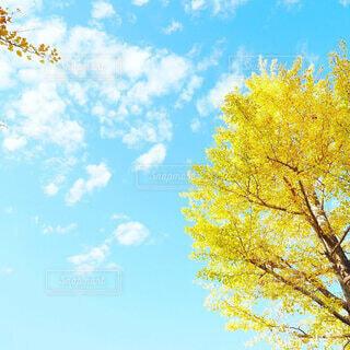 秋晴れの空、白い雲、黄色の銀杏の写真・画像素材[3681257]