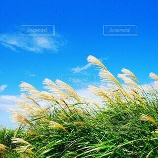 青空とすすきの写真・画像素材[3681595]