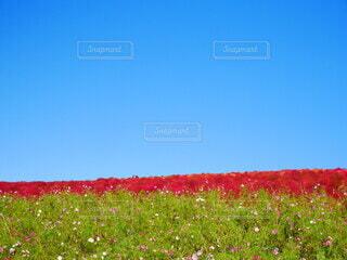 秋の晴天と真っ赤なコキアのコントラストの写真・画像素材[4616634]