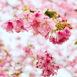 花,春,ポートレート,さくら