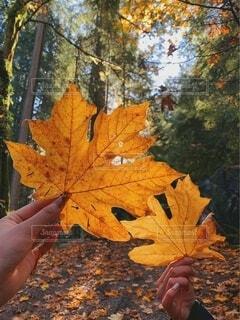 秋,紅葉,葉,季節,手持ち,樹木,人物,ポートレート,命,生命,ライフスタイル,バンクーバー,落葉,環境,手元,カエデ,カエデの葉,黒のメイプル
