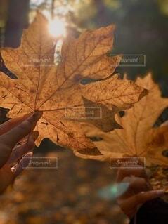 自然,秋,太陽,葉,季節,木漏れ日,手持ち,樹木,人物,ポートレート,ライフスタイル,バンクーバー,落葉,草木,環境,手元,カエデ,カエデの葉,黒のメイプル,シルバーメープル