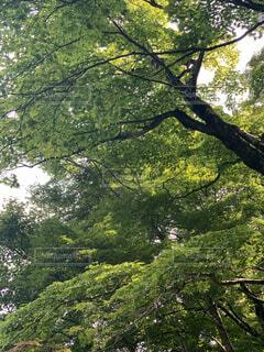 森の中の大きな木の写真・画像素材[3686112]