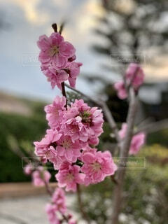 桃の花の写真・画像素材[3686109]