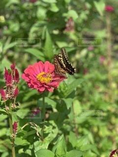 ピンクの花の蝶の写真・画像素材[3686115]