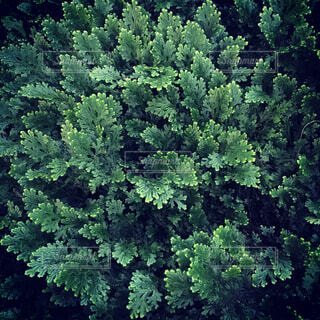 針葉樹のクローズアップの写真・画像素材[3750334]