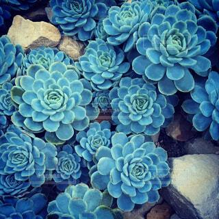美しい多肉植物の写真・画像素材[3848886]