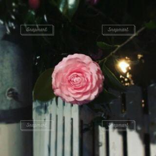 ピンクの花の写真・画像素材[3688240]