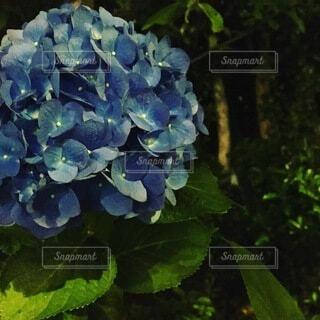 紫陽花の写真・画像素材[3688235]
