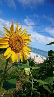 向日葵と海と空の写真・画像素材[3690245]