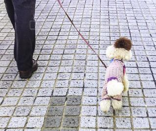 飼い主とお散歩中のプードルの後ろ姿の写真・画像素材[449059]