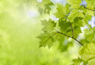 新緑のカエデの葉のクローズアップの写真・画像素材[4408148]