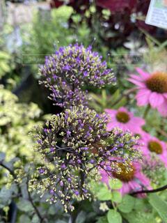 植物の紫色の花のクローズアップの写真・画像素材[3694508]