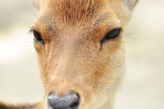 可愛い鹿のクローズアップの写真・画像素材[3693926]
