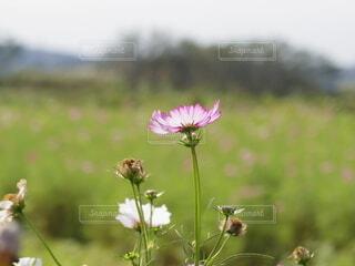 花,秋,コスモス,一輪の花,秋桜,秋の花,草木