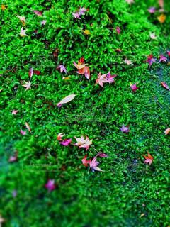 京都の紅葉の写真・画像素材[3712381]