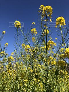 青空に映える菜の花の写真・画像素材[3789348]