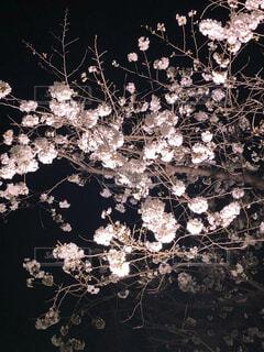 夜桜のクローズアップの写真・画像素材[4068255]