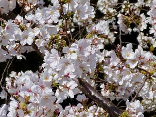桜の花の写真・画像素材[4331511]