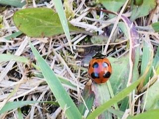 てんとう虫の写真・画像素材[3801940]
