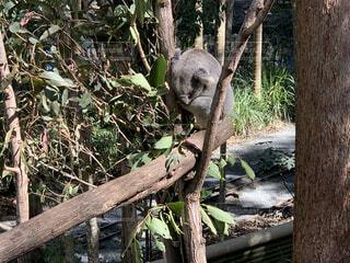 木の上のコアラの写真・画像素材[3706727]