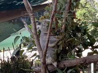 木の枝のコアラの写真・画像素材[3706736]