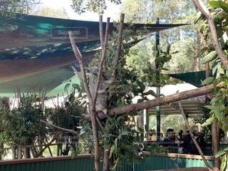 建物の側にあるヤシの木の上に座るコアラの写真・画像素材[3706734]