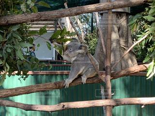 木の枝の上に座っているコアラの写真・画像素材[3706738]