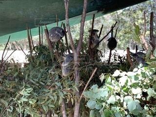 草の上に座っているコアラの写真・画像素材[3706737]