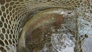 魚のクローズアップの写真・画像素材[3707644]